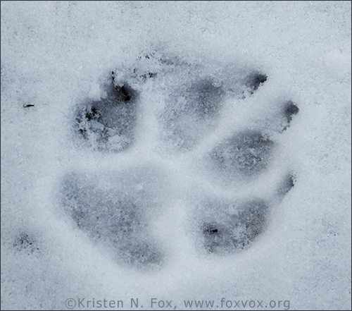 dog paw print in the snow