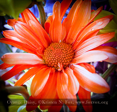 Orange Daisy  ©Kristen N. Fox, www.foxvox.org